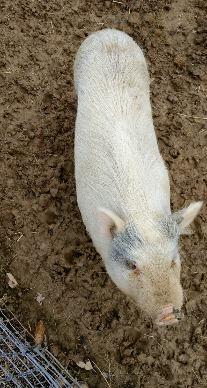 Charlotte- Female Potbelly Juliana Mixed Mini Pig