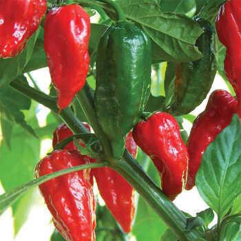 'Bhut Jolokia'-Ghost Pepper
