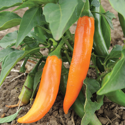 'Bulgarian Carrot'
