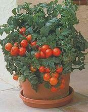 'Patio Tomato'