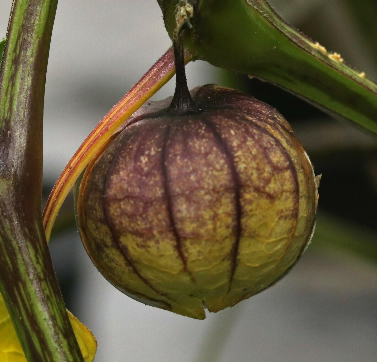 'Purple Tomatillo'