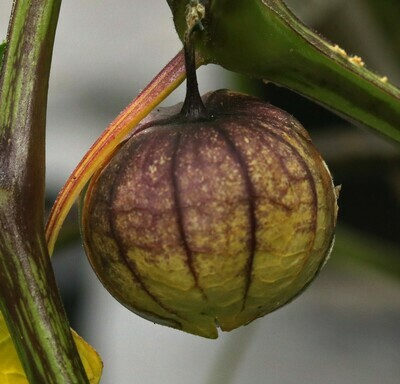 'Purple Tomatillo'