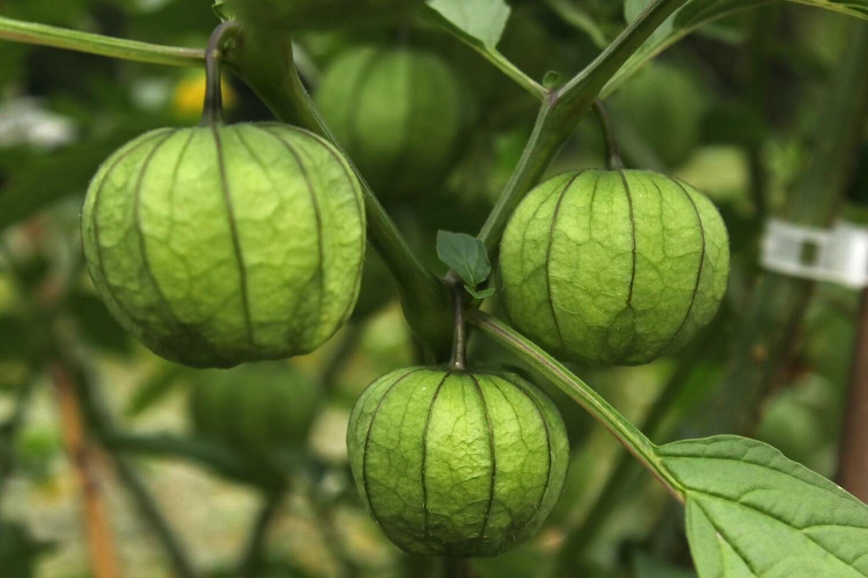 'Tomatillo Verde'