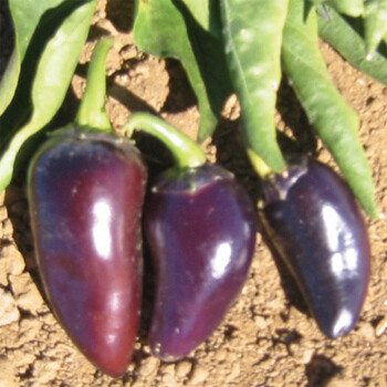'Purple Jalapeno'