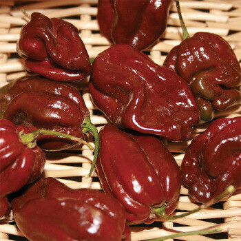 'Chocolate Habanero'