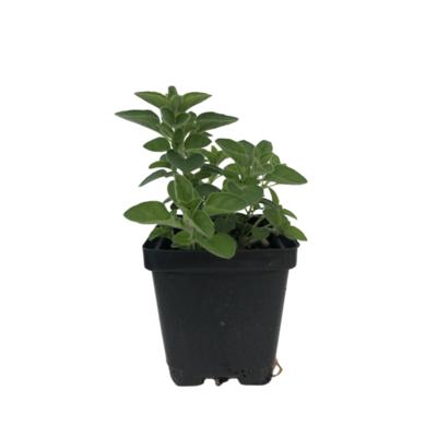 Organic Oregano (Plant)