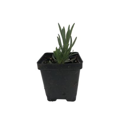 Organic Lavender (Plant)