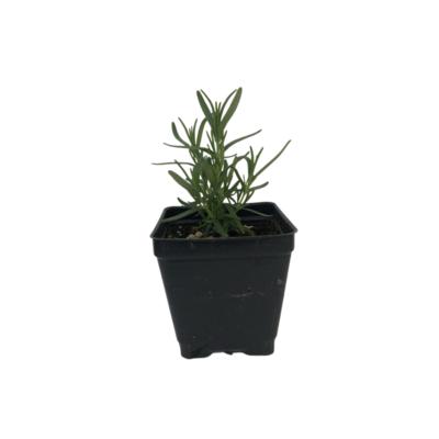 Organic Rosemary (Plant)