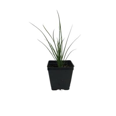 Organic Garlic Chives (Plant)