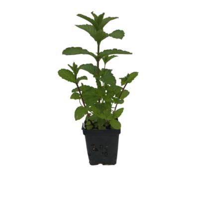 Organic Mint (Plant)
