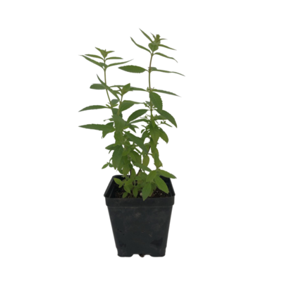 Organic Lemon Verbena (Plant)