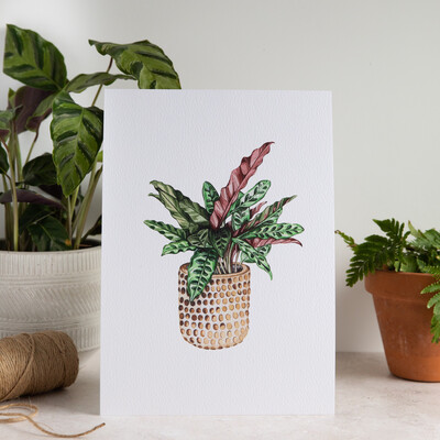 House Plant Print - Peacock Plant