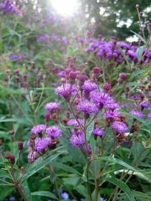 Curlytop Ironweed