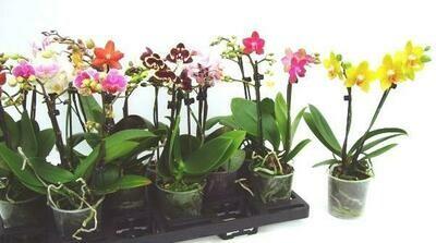 Phalaenopsis 2 Rispen 12cm Topf