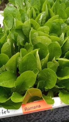 Salat Jungpflanzen Romana Salat