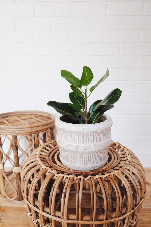 Audrey Ficus - Jara Planter
