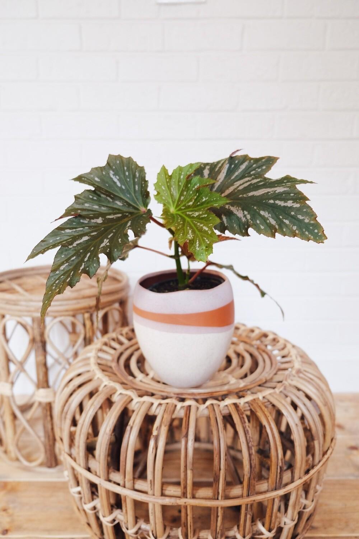 Angel Wing Begonia - Parker Planter