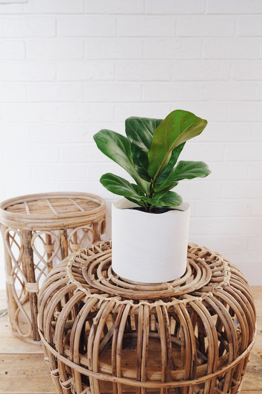 Ficus Lyrata - Delphi Planter