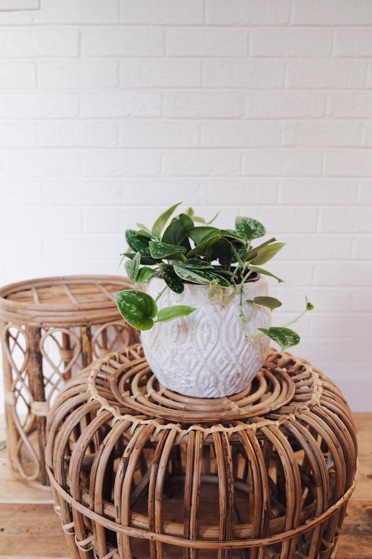Pothos Scindapsus - Andaz Planter