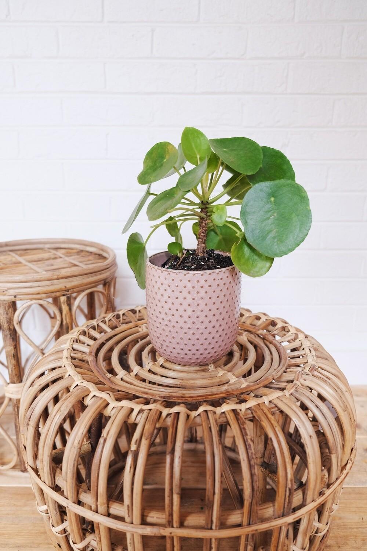 Pilea Peperomioides - Everly Planter