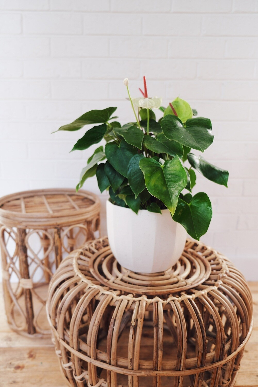 Red/White Anthurium - Bona Planter