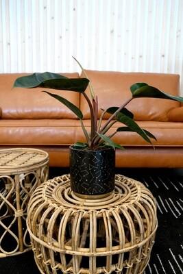 "Philodendron Rojo Congo - 6"""