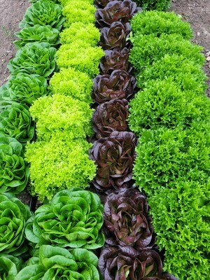 1 lb Salanova Premium Salad Mix, Whitehurst Farms (cloned)