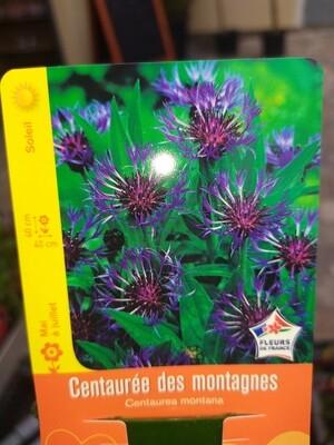 CENTAUREE DES MONTAGNES