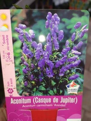 ACONITUM AENDSII (CASQUE DE JUPITER)