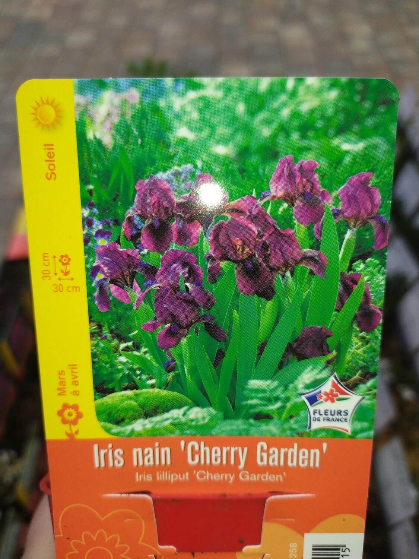 IRIS NAIN 'CHERRY GARDEN'