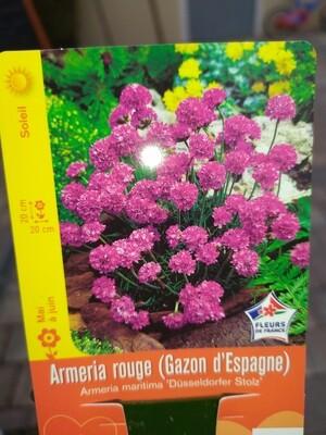 ARMERIA ROUGE (GAZON D'ESPAGNE)
