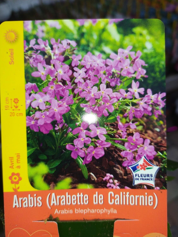 ARABIS (ARABETTE DE CALIFORNIE)
