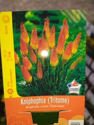 KNIPHOPHIA (TRITOME)