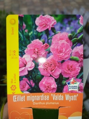 OEILLET MIGNARDISE 'VALDA WYATT'