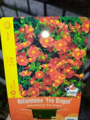 HELIANTHEME 'FIRE DRAGON'