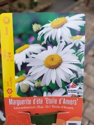 MARGUERITE D'ETE 'ETOILE D'ANVERS'