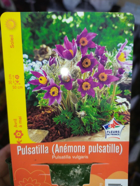 PULSATILLA (ANEMONE PULSATILLE) VIOLET