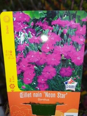 OEILLET NAIN 'NEON STAR'
