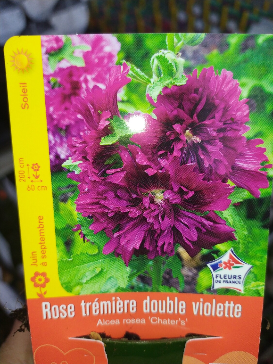 ROSE TREMIERE DOUBLE VIOLETTE