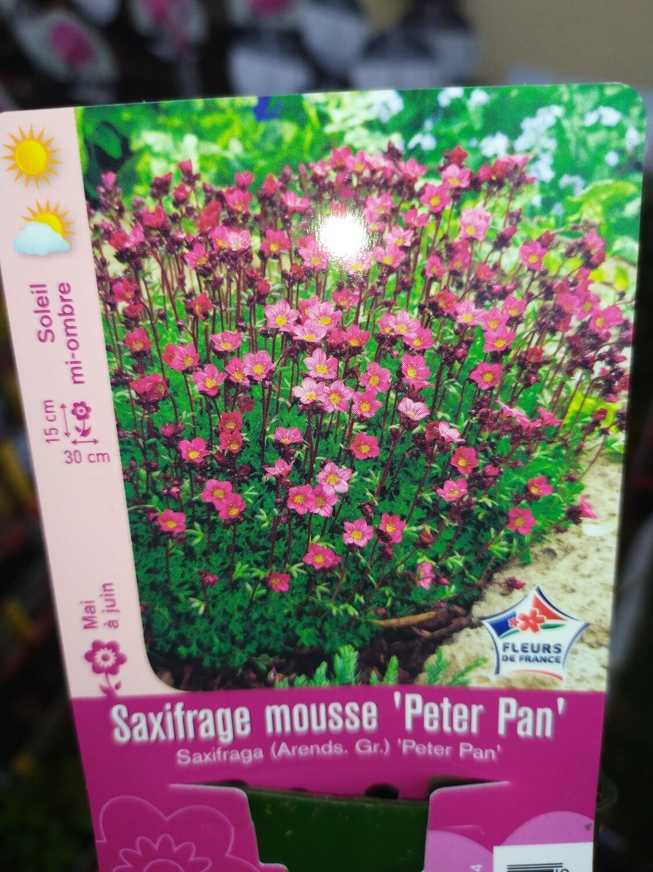 SAXIFRAGE MOUSSE 'PETER PAN'
