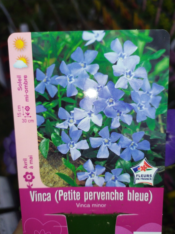 VINCA (PETITE PERVENCHE BLEUE)