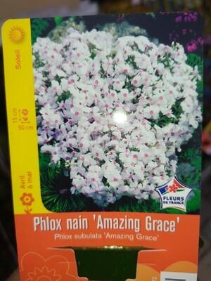 PHLOX NAIN 'AMAZING GRACE'