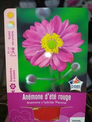 ANEMONE D'ETE ROUGE