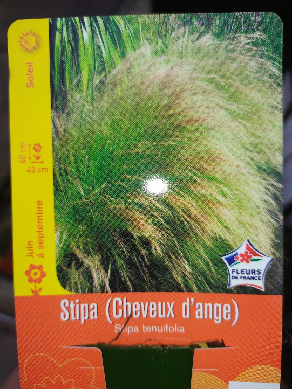STIPA (CHEVEUX D'ANGE)