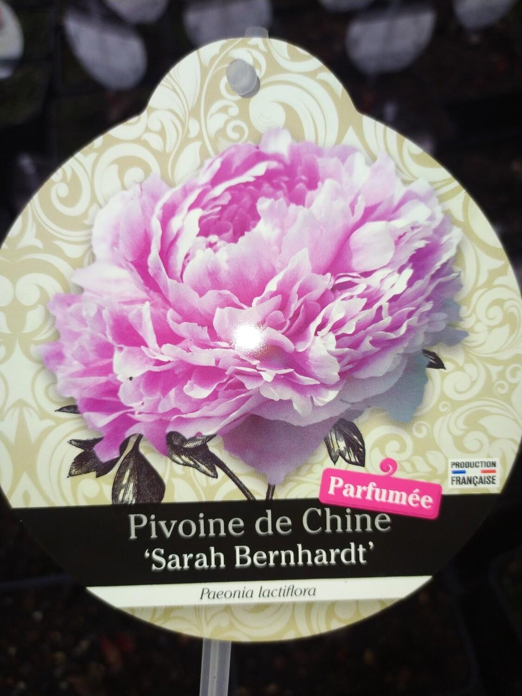 PAEONIA LACTIFLORA 'SARAH BERNHARDT' (PIVOINE HERBACEE)
