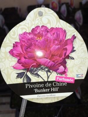 PAEONIA LACTIFLORA 'BUNKER HILL' (PIVOINE DE CHINE HERBACEE)