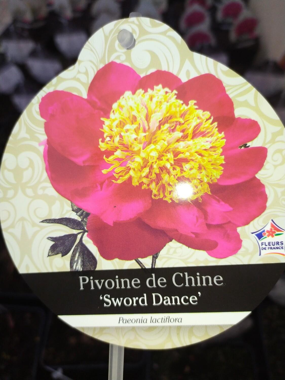 PAEONIA LACTIFLORA 'SWORD DANCE' (PIVOINE HERBACEE)