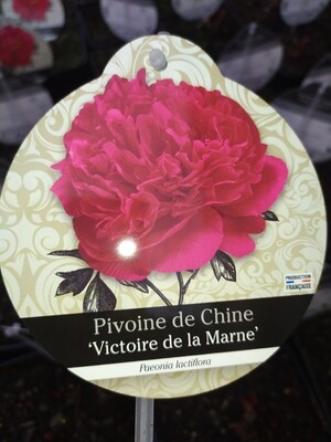 PAEONIA LACTIFLORA 'VICTOIRE DE LA MARNE' (PIVOINE HERBACEE)