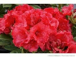 RHODODENDRON 'RED JACK' 40/50 C