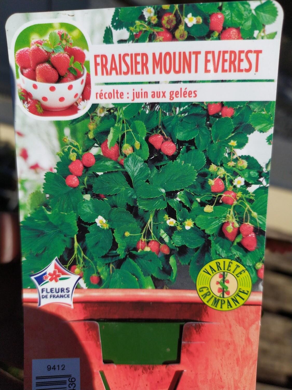 FRAISIER 'MOUNT EVEREST', godet de 7cm